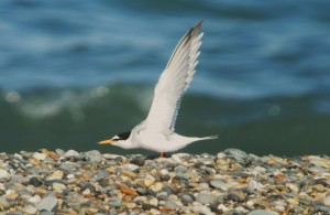 Little Tern. Photo by Niall Keogh