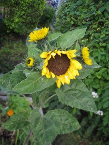 Sunflowers will produce seeds